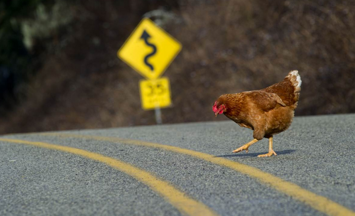 gallina intentando cruzar la calle