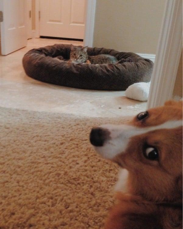 perro corgi esperando a que su dueño le quite la cama