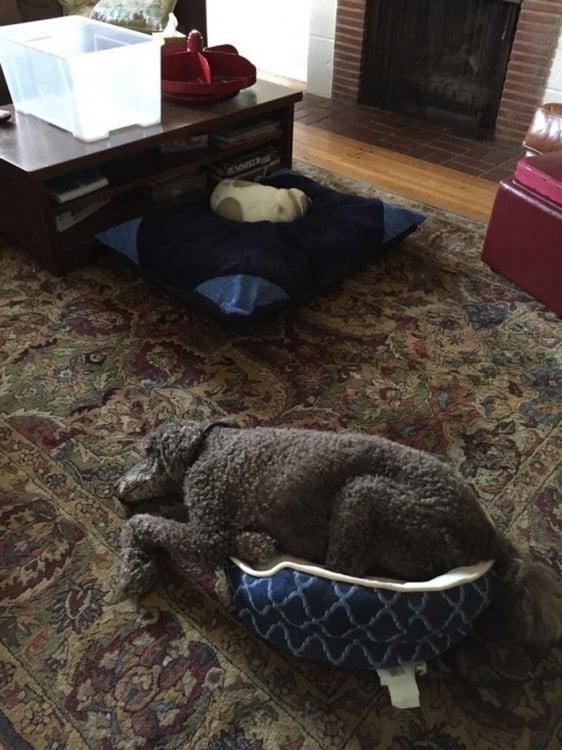 chinito cão deitado em seu ccama gato