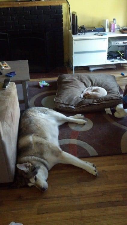 perro husky con un gato