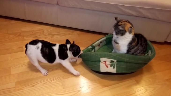 bulldogfrances arrancandole su cama al gato