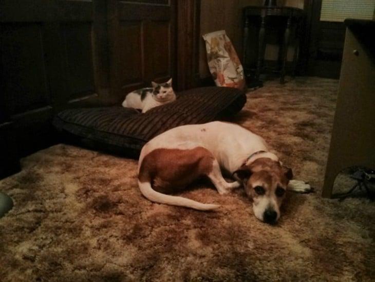 Um cão deitado ao lado de sua cama porque o gato tomou-o fora