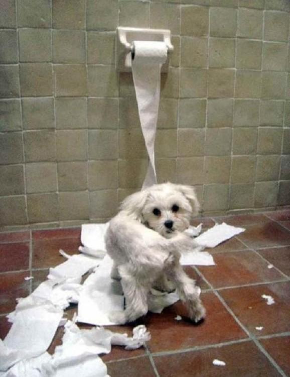 perro que destruye el papel sanitario