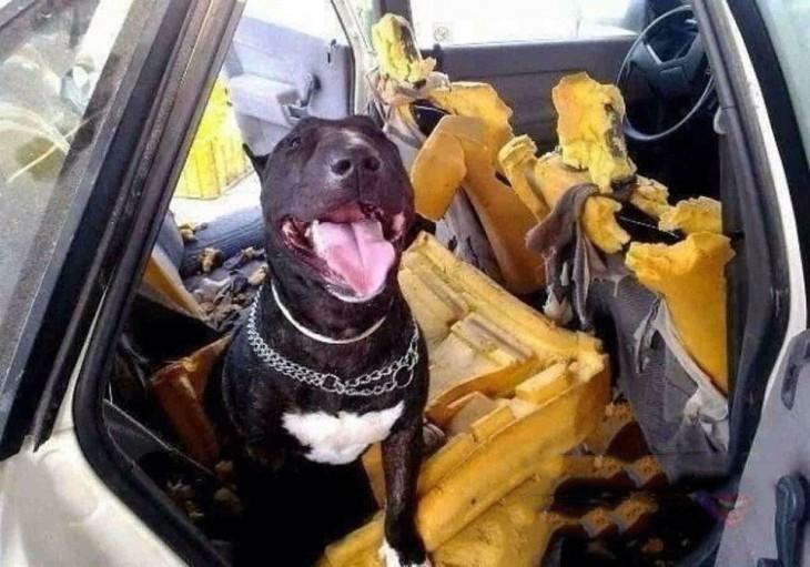 perro que destruyo el carro de su dueño