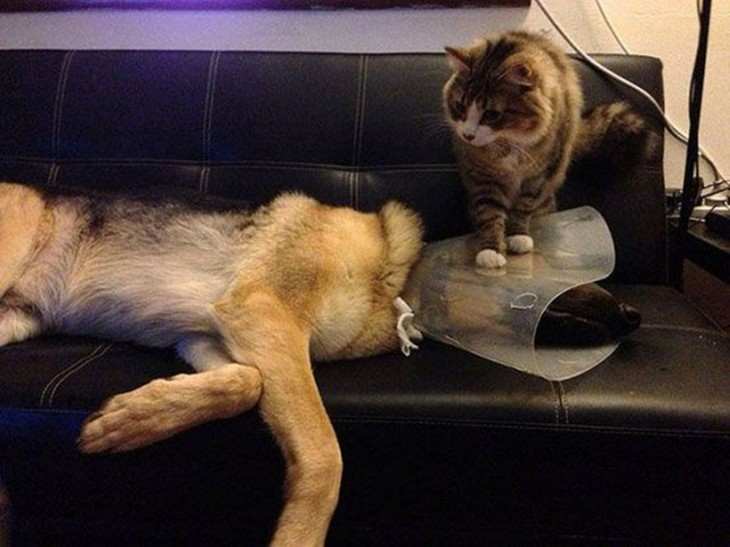 gato encima de la cabeza del perro enfermo