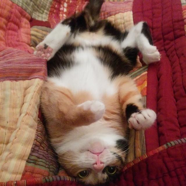 gato mostrando su pancita para que se toquen