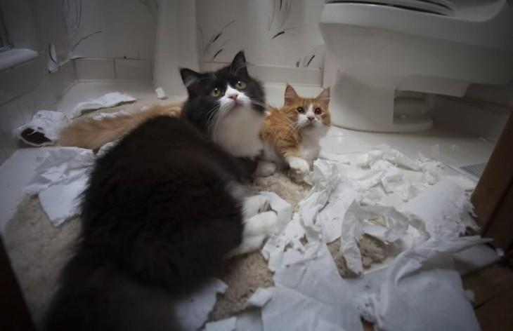 gatos que destruyeron el papel de baño