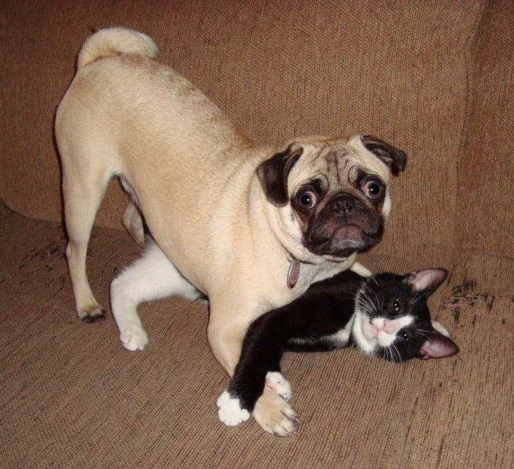 perro pug y gato jugando a las mordidas