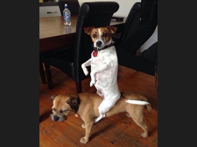perro jugando al caballito con su otro perro