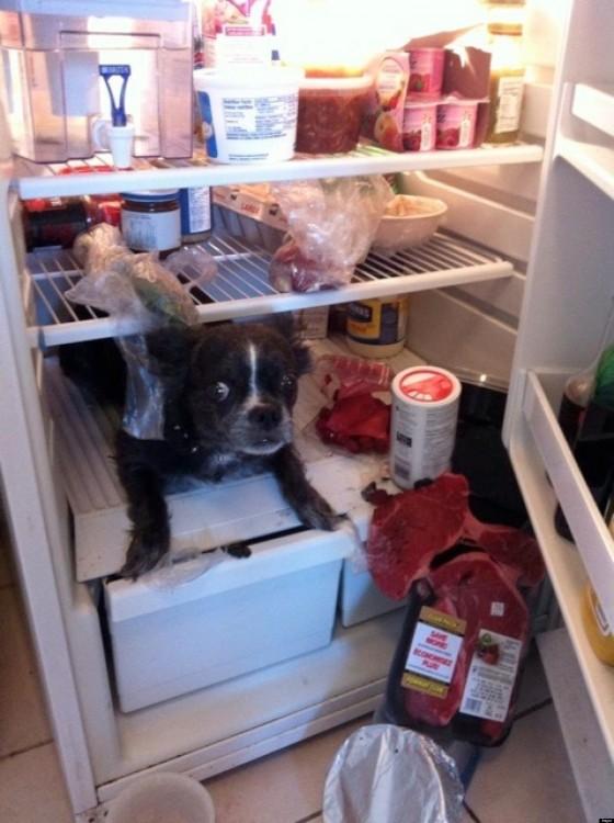 perro adentro del refrigerador husmeando todo lo que hay