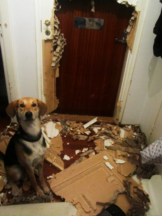 perro que desstruyo la puerta de su casa