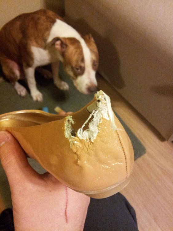 Cão que come uma sapata