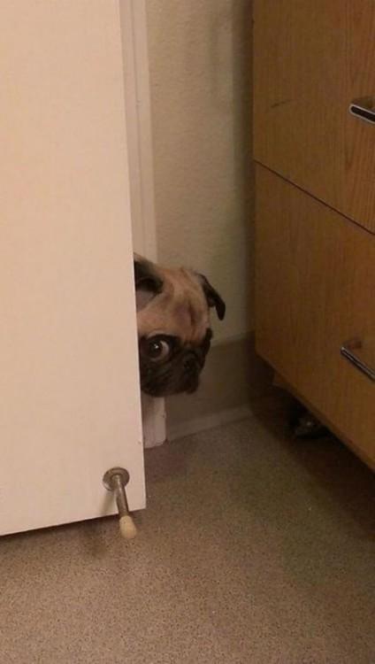 perro pugabriendo la puerta con cara de asust