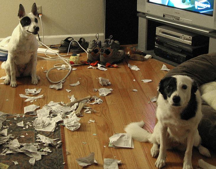 dois cães que fizeram mal em casa