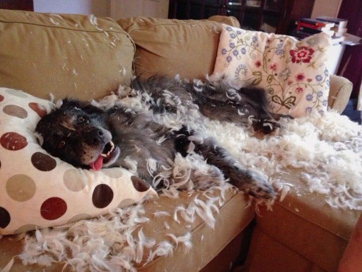 cão entre penas porque eu destruiu o travesseiro