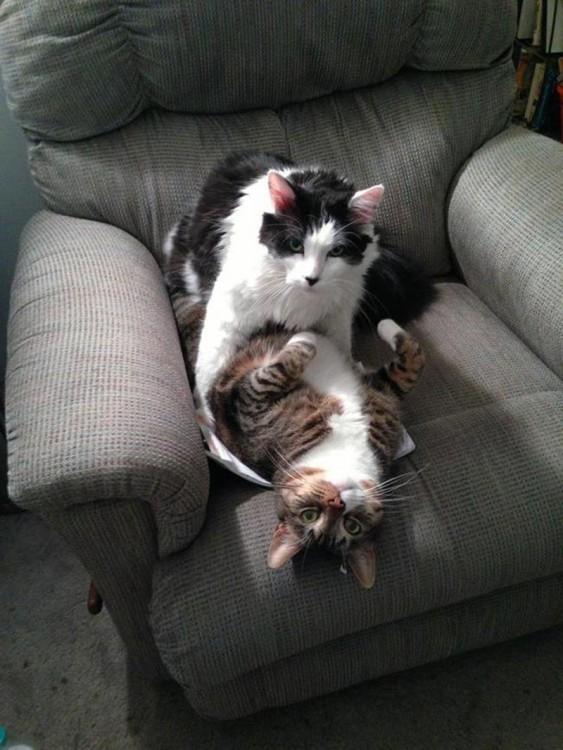 gatos jugando abrazados en un sillíón gris