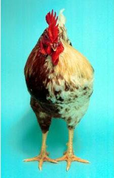 Animal que es mitad gallo y mitad gallina