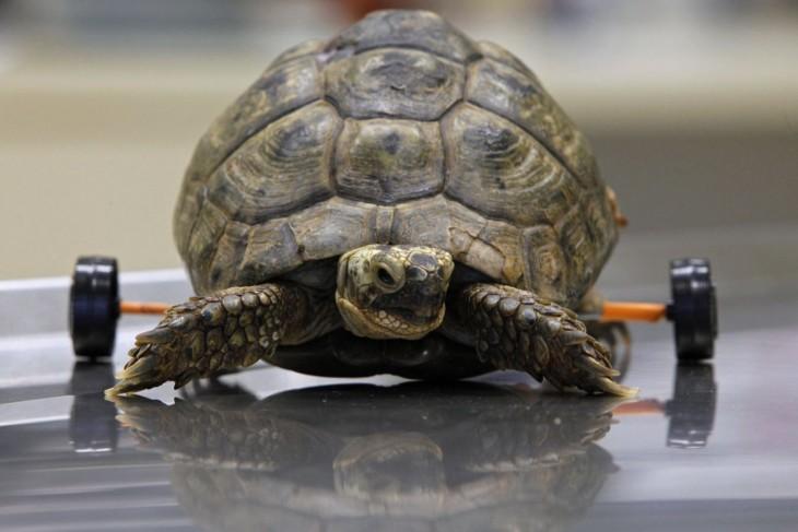 una pequeña tortuga con unas ruedas en su parte trasera