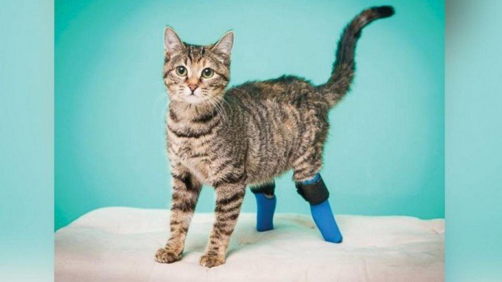 gato con un par de prótesis en su patas traseras parado sobre una mesa
