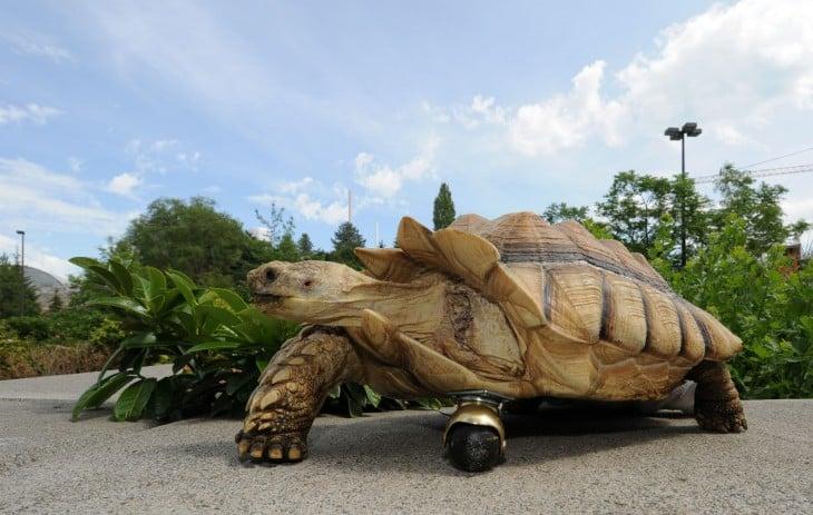 una enorme tortuga con una prótesis en su pata delantera izquierda