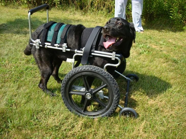perrita con una silla de ruedas en sus patas delanteras parada en un jardín