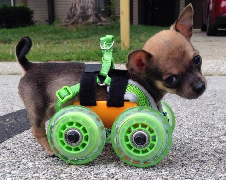 pequeño perrito chihuahua con un pequeño carrito como prótesis