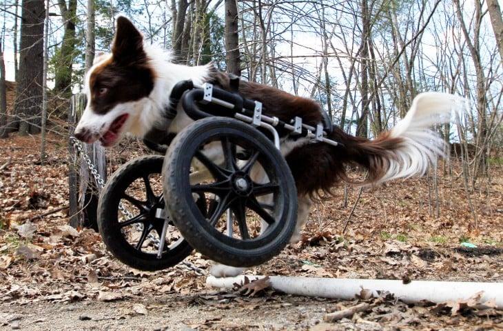 Perrito con una silla de ruedas en sus patas delanteras
