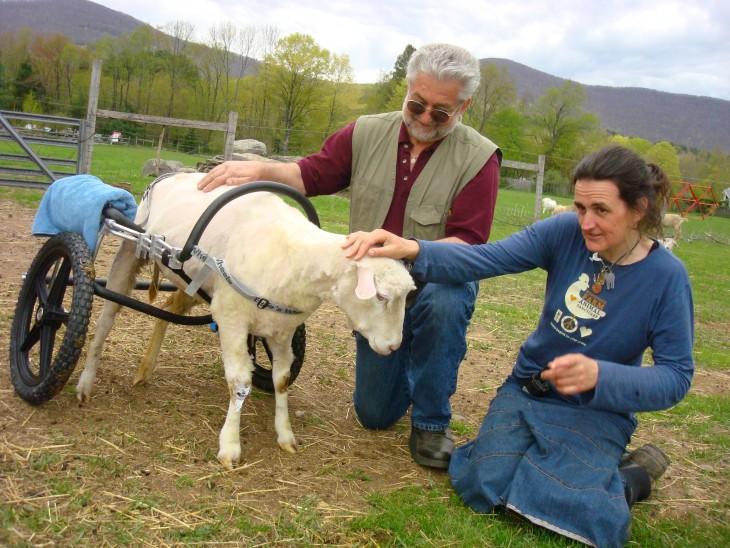 Dos personas acariciando a una oveja con sillas de ruedas