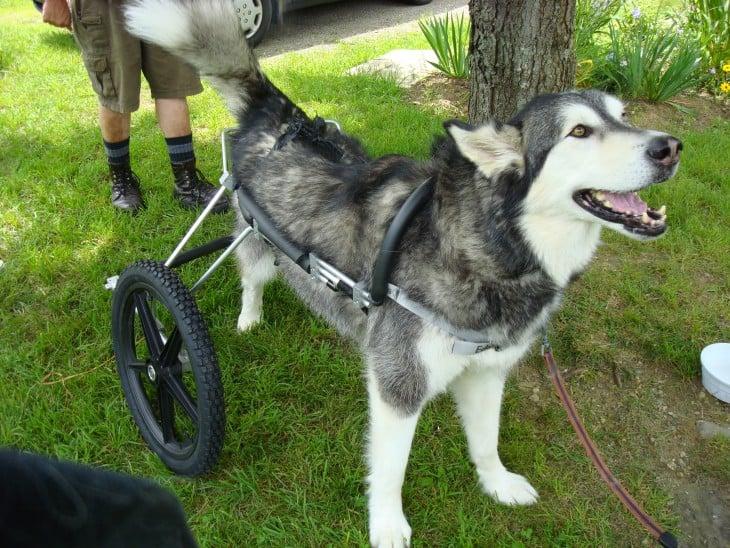 Perro malamute con una silla de ruedas para sus patas traseras