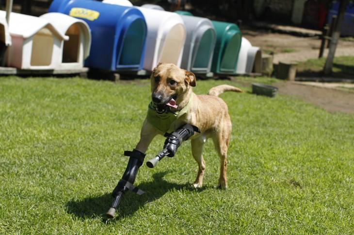 Perro con dos prótesis en su patas delanteras corriendo por un jardín