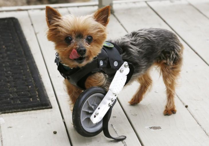 Pequeño perrito con una rueda en su pata delantera