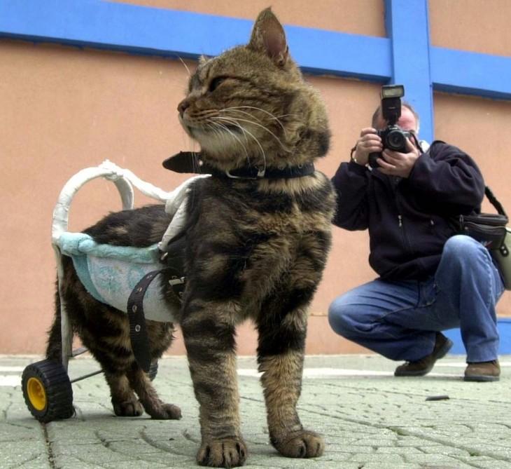 gato con un aparato en su parte trasera que le permite caminar y junto a él una persona tomando una foto