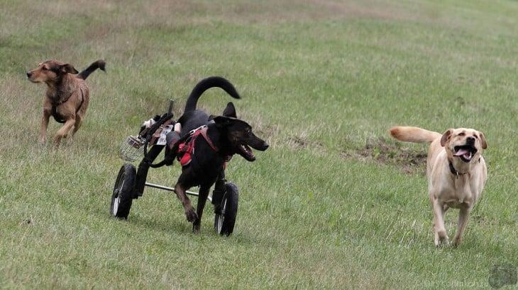 Una perrita con silla de ruedas corriendo por el campo en medio de dos perros a sus costados