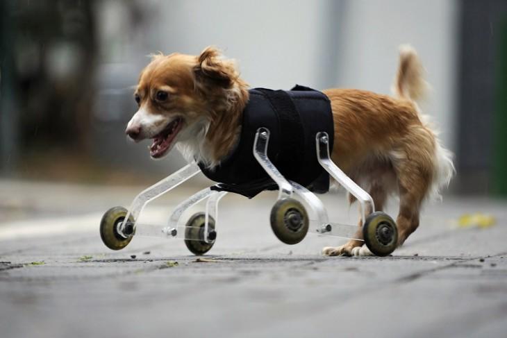 perrita con un aparato de ruedas para sus patas delanteras