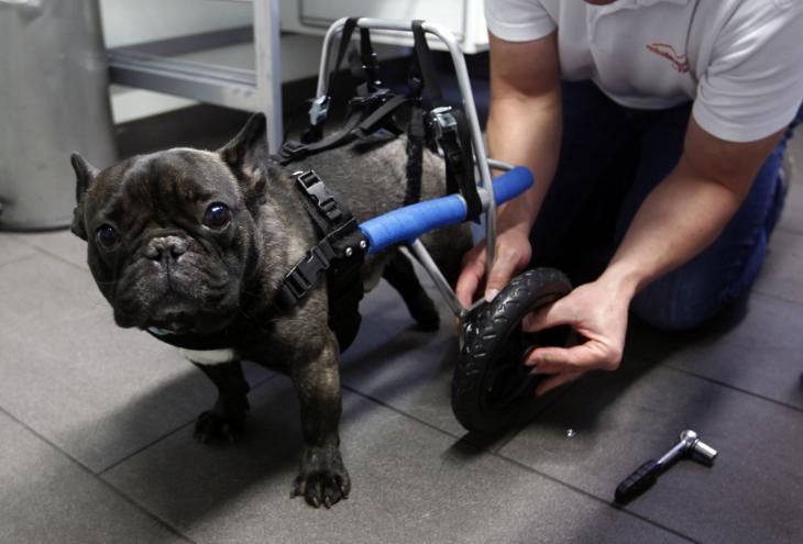 persona colocando una prótesis en la parte trasera de un perro bulldog francés