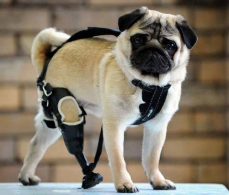 un pequeño Pug con una prótesis en una de sus patas traseras