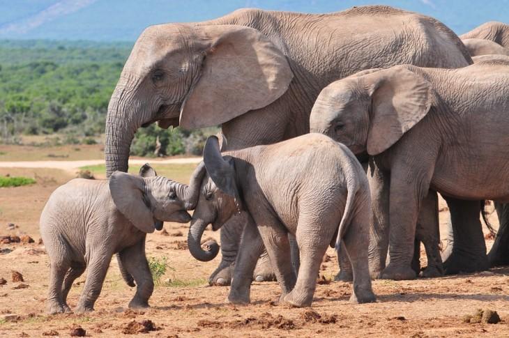 grupo de elefantes jugando en su hábitat natural en África