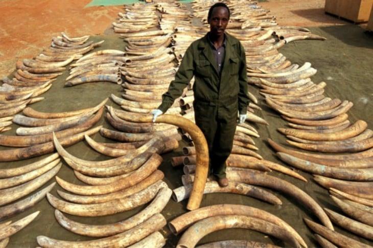 hombre en África rodeado de cuernos de marfil de elefantes