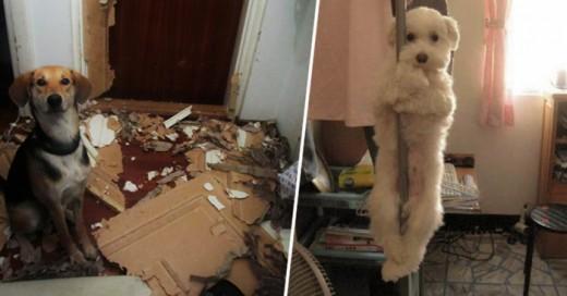 Estas mascotas tantraviesas pero sus reacciones en la evidencia los salva