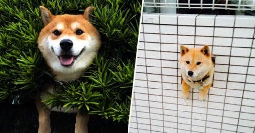 Algunos perros traen ciertos comportamientos en sus gene, pero los shibas tienen uno muy particular el atorarse en donde sea