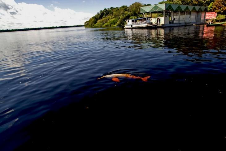 Delfines rosados en el río amazonas