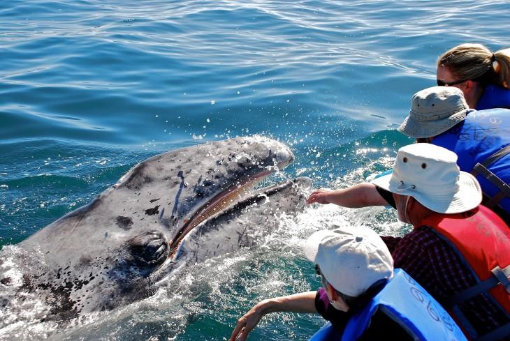 Ballenas Tickle en México