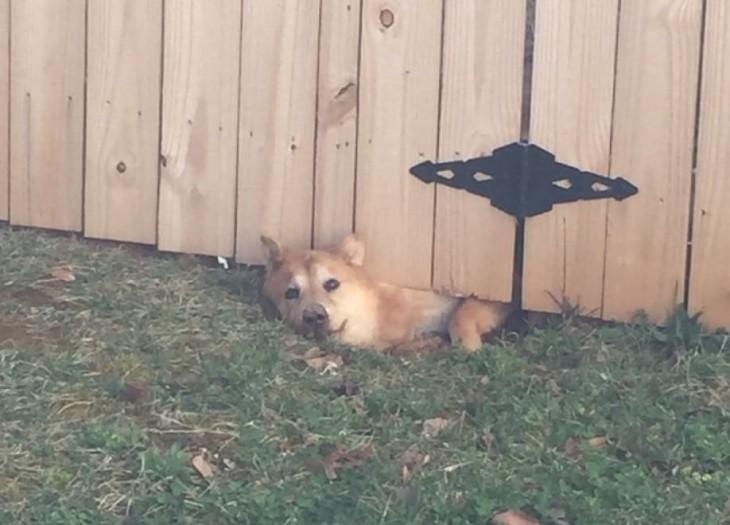 perro shiba atorado debajo de un portón de madera