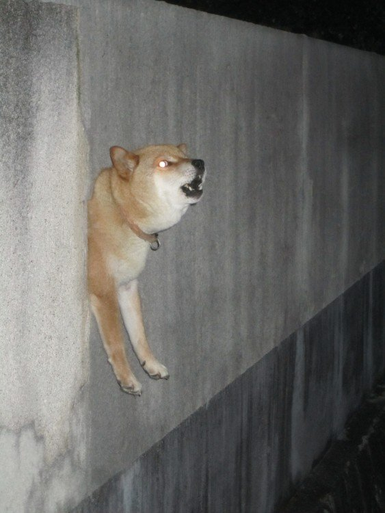 perro de raza shiba atorado en medio de una pared por medio de un agujero