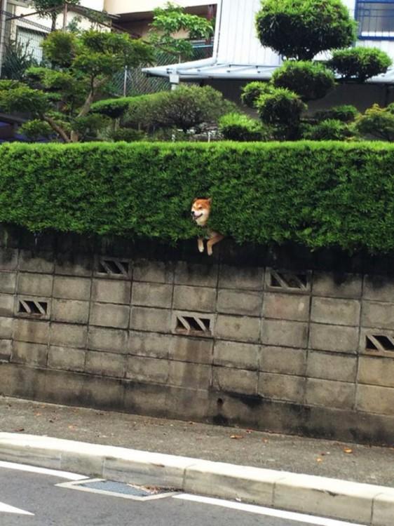 Un perro Shiba atorado en un arbusto