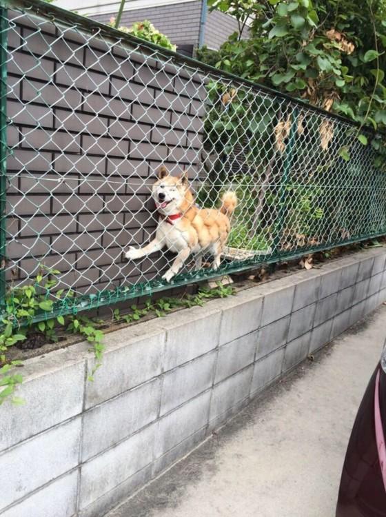Un perro shiba atorado entre una reja y una pared