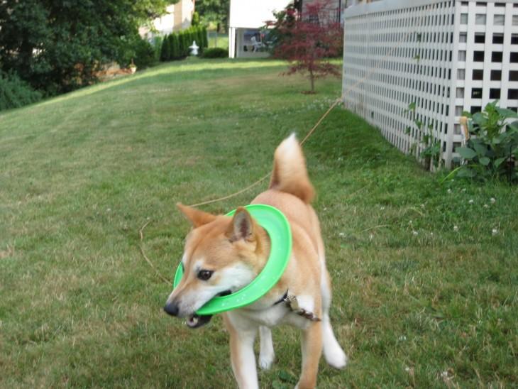perro de raza shiba en un jardín atorado dentro de un círculo verde