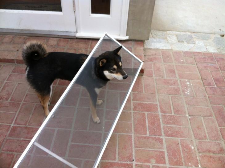 Un pequeño perro shiba negro atorado en una puerta mosquitera