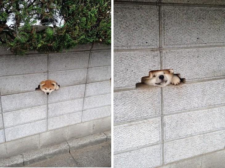 foto de un perro shiba intentando entrar dentro de un hueco en la pared