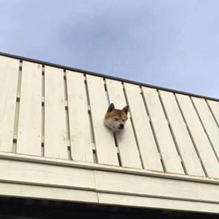 cabeza de un perro shiba atorado en un barandal